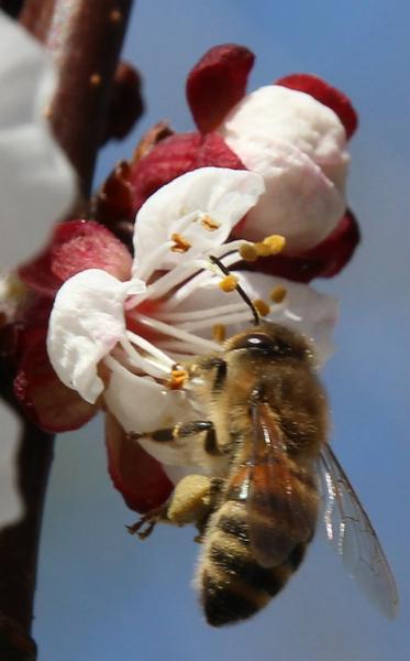 Biene in Aprikosenblüte