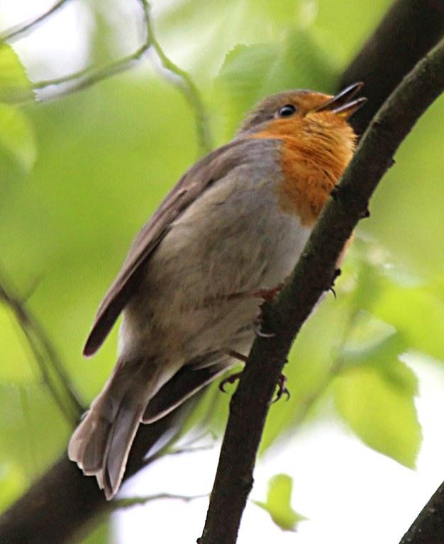 Rotkehlchen singt