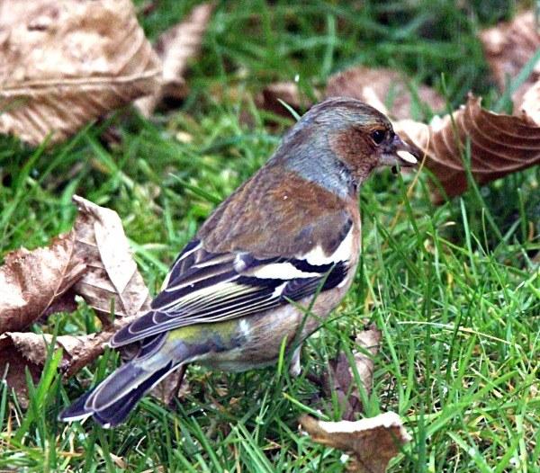 Buchfink im Kleingarten (Männchen)