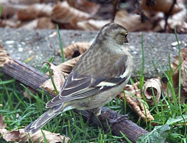Buchfink im Kleingarten (Weibchen)