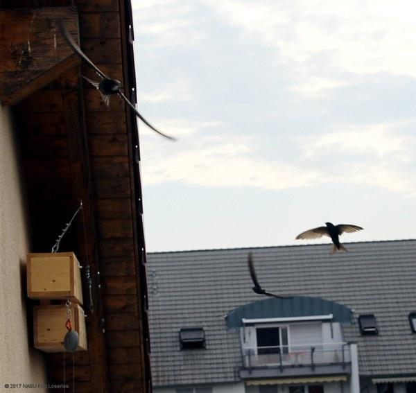 Mauersegler Sucher im Wohngebiet