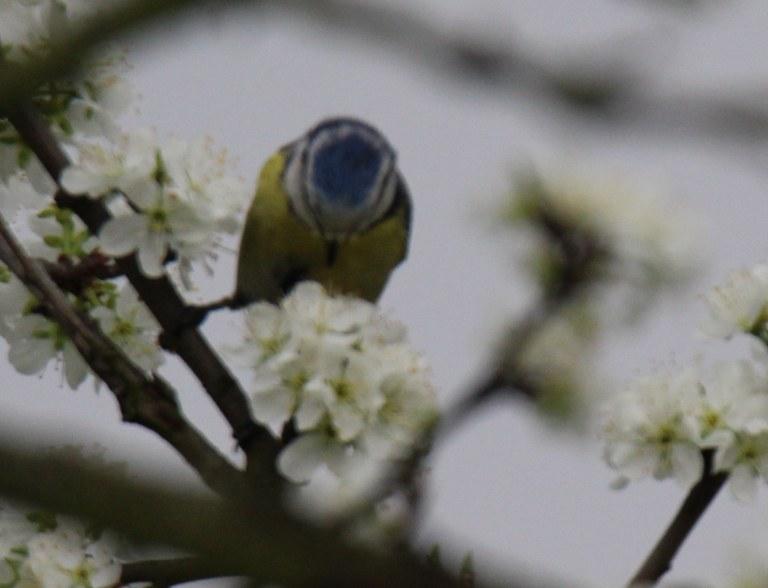 Blaumeise - so ein hübsches blaues Köpfchen