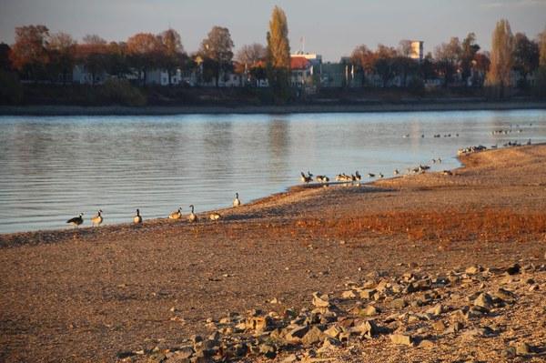 Gänse am Rhein - Niedrigwasser 2018