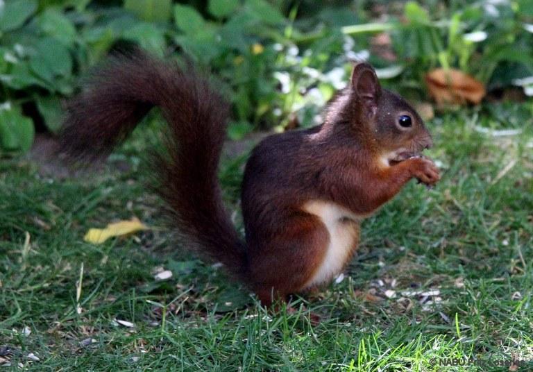 Eichhörnchen Im Garten : eichh rnchen im garten website ~ Watch28wear.com Haus und Dekorationen