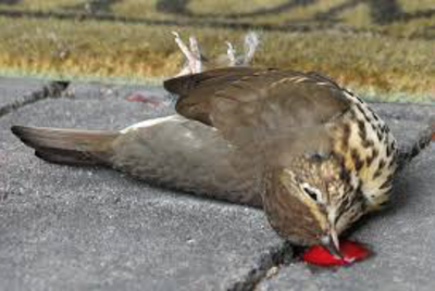 Vogelschlag an Glasscheibe